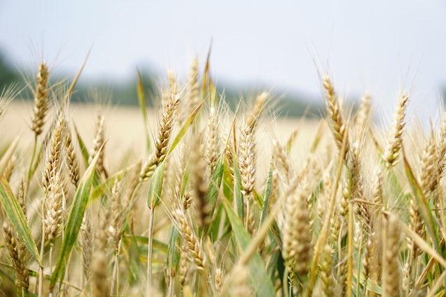 Čerstvá pšenice